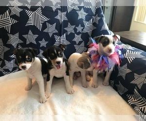 Rat Terrier Litter for sale in PLANTATION, FL, USA