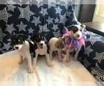 Rat Terrier Puppy For Sale in PLANTATION, FL, USA