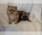 Pomeranian Puppy For Sale in TAUNTON, MA, USA