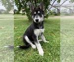 Siberian Husky Puppy For Sale in WASHBURN, WI, USA