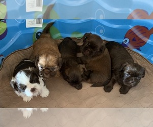 Shih Tzu Litter for sale in OLD FORGE, PA, USA