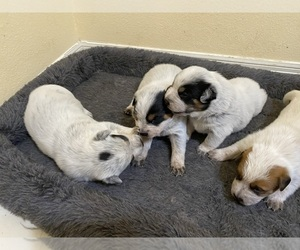 Australian Cattle Dog Litter for sale in DOVER, OR, USA