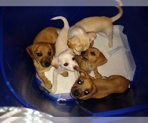 Chiweenie Litter for sale in VANCOUVER, WA, USA