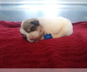 Anatolian Shepherd-Great Pyrenees Mix Litter for sale in STURGIS, KY, USA