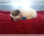 Anatolian Shepherd-Great Pyrenees Mix Puppy For Sale in STURGIS, KY, USA