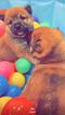 Shiba Inu Puppy For Sale in GLENARDEN, MD, USA
