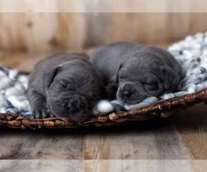 American Bully-French Bulldog Mix Litter for sale in FAYETTEVILLE, NC, USA