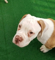 American Bulldog Litter for sale in BLACKSBURG, VA, USA