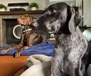 German Shorthaired Pointer Litter for sale in KENDALL, FL, USA