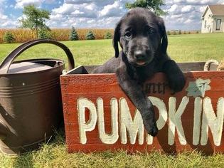 Labrador Retriever Puppy For Sale in RANTOUL, IL, USA