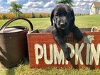 Labrador Retriever Puppy For Sale in RANTOUL, IL, USA