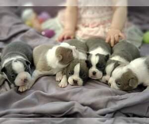 Boston Terrier Litter for sale in KINGSPORT, TN, USA