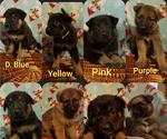 German Shepherd Dog Puppy For Sale in MADISON, FL, USA