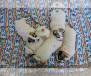 Great Pyrenees Litter for sale in MONTICELLO, UT, USA