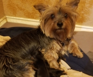 Yorkshire Terrier Litter for sale in MERCED, CA, USA