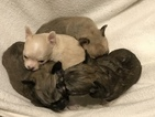 Chihuahua Puppy For Sale in CHARLESTON, SC, USA