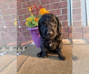 Labradoodle-Poodle (Standard) Mix Litter for sale in STILWELL, OK, USA