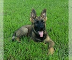 German Shepherd Dog Puppy For Sale in AVA, MO, USA