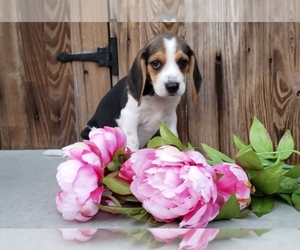 Beagle Litter for sale in SHREVE, OH, USA