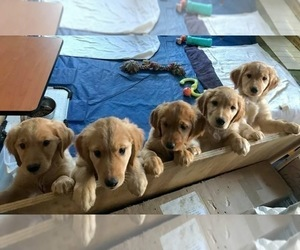 Golden Retriever Litter for sale in SEATTLE, WA, USA