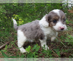 F2 Aussiedoodle Litter for sale in COEUR D ALENE, ID, USA