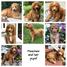 Poodle (Standard) Puppy For Sale in LEO, IN, USA