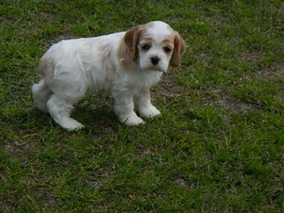 Cocker Spaniel Litter for sale in BEECH ISLAND, SC, USA