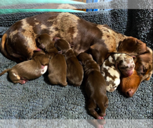 Dachshund Litter for sale in SANTA CLARITA, CA, USA