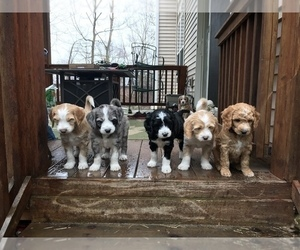 Aussiedoodle Litter for sale in COMMERCE, MI, USA