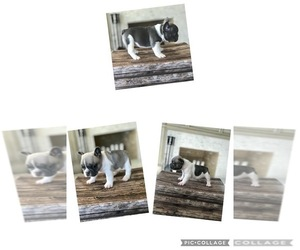 French Bulldog Litter for sale in SAINT HELENS, OR, USA