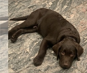 Labrador Retriever Litter for sale in ESCONDIDO, CA, USA