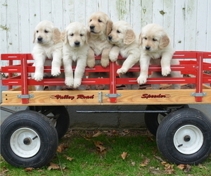 Golden Retriever Litter for sale in LANCASTER, PA, USA