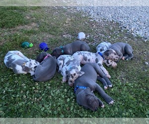 Great Dane Litter for sale in PATRIOT, OH, USA