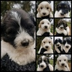 Pyredoodle Puppy For Sale in NASHVILLE, TN, USA