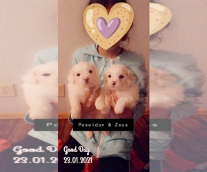 Bichon Frise Litter for sale in RACINE, WI, USA