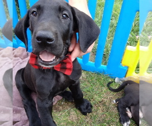 Great Dane Litter for sale in PIERSON, MI, USA