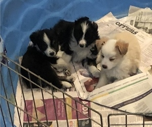 Miniature Australian Shepherd Litter for sale in RAMONA, CA, USA