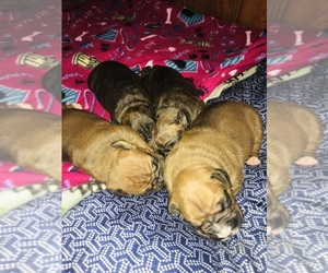 Boxer Litter for sale in KIMMELL, IN, USA