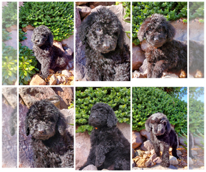 Labradoodle Litter for sale in HENDERSON, NV, USA