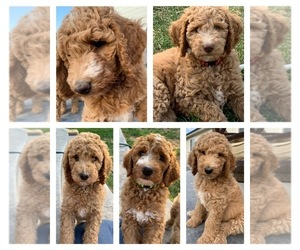 Goldendoodle-Poodle (Standard) Mix Litter for sale in CALDWELL, ID, USA