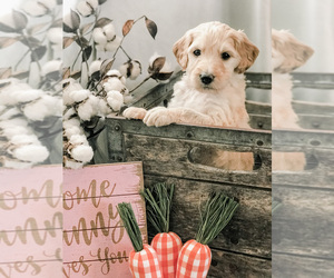 Goldendoodle Litter for sale in MARQUAND, MO, USA