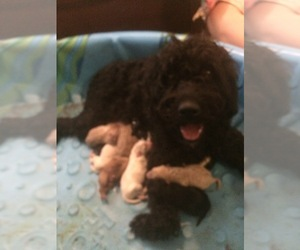 Labradoodle Litter for sale in KALISPELL, MT, USA