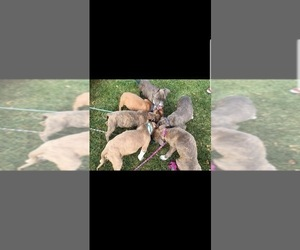 American Pit Bull Terrier Litter for sale in ABERDEEN, SD, USA