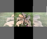 Small Photo #1 American Pit Bull Terrier Puppy For Sale in ABERDEEN, SD, USA