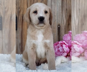 Labrador Retriever Litter for sale in SUGARCREEK, OH, USA