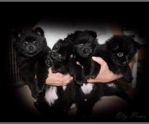 Pomeranian Litter for sale in OLYMPIA, WA, USA