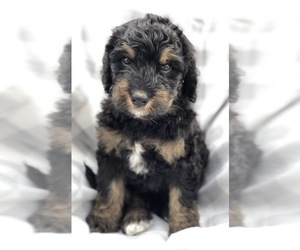Medium Bernedoodle