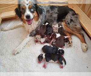 Miniature Australian Shepherd Litter for sale in HILLSBORO, OR, USA