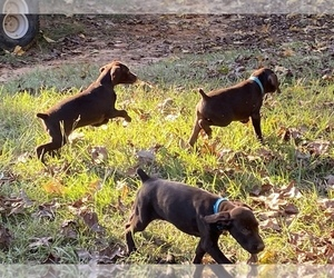 German Shorthaired Pointer Litter for sale in WINNSBORO, TX, USA