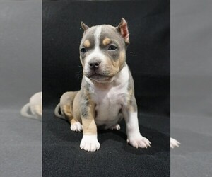 American Bully Litter for sale in BRANDYWINE, MD, USA